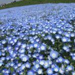 ネモフィラの丘2018/ひたちなか海浜公園今年のネモフィラ開花レポ